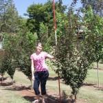 Prunus bleareana