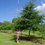 Quercus palusstris